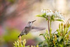 Μικρό μέλισσα-κολίβριο πουλιών Στοκ Εικόνες