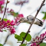 Μικρό μέλισσα-κολίβριο πουλιών Στοκ Εικόνα