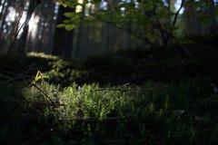 Μικρό μακρο δασικό βρύο Στοκ εικόνα με δικαίωμα ελεύθερης χρήσης