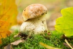 Μικρό μανιτάρι στο δάσος φθινοπώρου Στοκ Εικόνες