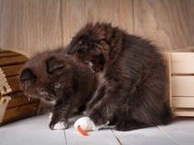 Μικρό μαύρο παιχνίδι παιχνιδιού γατακιών δύο σε ένα ξύλινο υπόβαθρο Στοκ Φωτογραφία