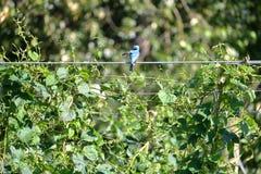 Μικρό μπλε πουλί Preening στο καλώδιο λυκίσκων Στοκ εικόνες με δικαίωμα ελεύθερης χρήσης