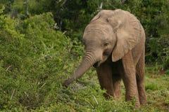 Μικρό μωρό ελεφάντων, άγρια φύση, θηλαστικά Στοκ φωτογραφία με δικαίωμα ελεύθερης χρήσης