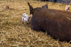 Μικρό νεογέννητο χοιρίδιο που στέκεται εκτός από το μεγάλο χοίρο μητέρων στο άχυρο Στοκ εικόνα με δικαίωμα ελεύθερης χρήσης