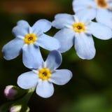Μικρό λουλούδι βουνών Στοκ Φωτογραφία