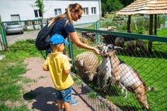 μικρό παιδί με το ζωολογικό κήπο αιγών σίτισης μητέρων σε επαφή στοκ φωτογραφίες