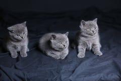 Μικρό παιχνίδι γατακιών στο σκοτάδι, πορτρέτο Στοκ φωτογραφίες με δικαίωμα ελεύθερης χρήσης