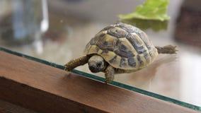 Μικρό περπάτημα χελωνών εσωτερικό φιλμ μικρού μήκους
