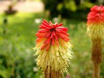 Μικρό πορτοκάλι λουλουδιών και κίτρινος Στοκ φωτογραφία με δικαίωμα ελεύθερης χρήσης
