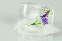 Μικρό πορφυρό λουλούδι στον κύβο πάγου Στοκ φωτογραφία με δικαίωμα ελεύθερης χρήσης