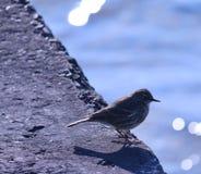 Μικρό πουλί που εξετάζει τον ωκεανό που στέκεται κοντά στην ακτή Στοκ φωτογραφία με δικαίωμα ελεύθερης χρήσης