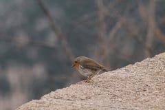 Μικρό πουλί που κοιτάζει κάτω από το δάσος στοκ φωτογραφίες