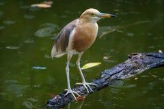 Μικρό πουλί γερανών που στέκεται στο επιπλέον ξύλο Στοκ Φωτογραφίες