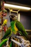 Μικρό πουλί παπαγάλων στο τηλέφωνο στοκ εικόνα