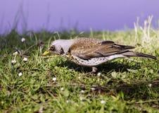 Μικρό πουλί στη χλόη Στοκ Φωτογραφίες