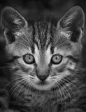 Μικρό πρόσωπο γατών Στοκ Εικόνες