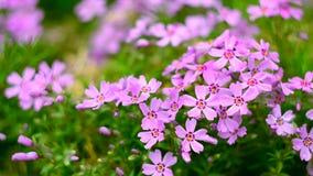 Μικρό ροζ άνθισης λουλουδιών phlox με απόθεμα βίντεο