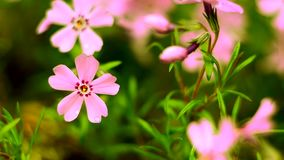 Μικρό ροζ άνθισης λουλουδιών phlox με φιλμ μικρού μήκους
