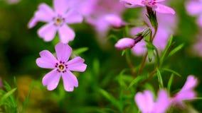 Μικρό ροζ άνθισης λουλουδιών phlox απόθεμα βίντεο