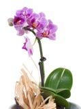 Μικρό ροζ phalaenopsis ορχιδεών Στοκ φωτογραφίες με δικαίωμα ελεύθερης χρήσης