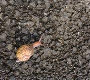 Μικρό σαλιγκάρι που κινείται αργά κατά μήκος της ασφάλτου Στοκ εικόνες με δικαίωμα ελεύθερης χρήσης