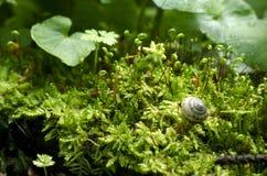 Μικρό σαλιγκάρι στα φρέσκα πράσινα φύλλα που καλύπτονται με τη δροσιά στοκ εικόνα
