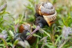 Μικρό σαλιγκάρι κήπων Στοκ Φωτογραφία