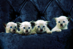 Μικρό σιαμέζο γατάκι τέσσερα που στέκεται από κοινού Στοκ Εικόνα