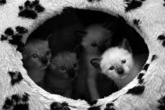 Μικρό σιαμέζο γατάκι τέσσερα που στέκεται μαζί στο σπίτι τους Στοκ Εικόνες