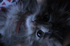 Μικρό σκούρο γκρι γατάκι με ένα περιλαίμιο στοκ εικόνες