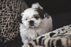 Μικρό σκυλί κουταβιών Tzu Shi στοκ εικόνες με δικαίωμα ελεύθερης χρήσης