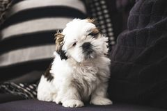 Μικρό σκυλί κουταβιών Tzu Shi στοκ εικόνες