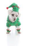 Μικρό σκυλί κουταβιών νεραιδών ή jester που εξετάζει κάτω κάτι Στοκ Εικόνες