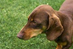 Μικρό σκυλί μαυρίσματος Vizsla καφετί Στοκ Φωτογραφία