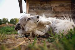 Μικρό σκυλί που βρίσκεται στην πλάτη Στοκ Φωτογραφία