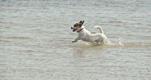 Μικρό σκυλί που τρέχει στην οδύσσεια παραλιών 4K FS700 7Q απόθεμα βίντεο