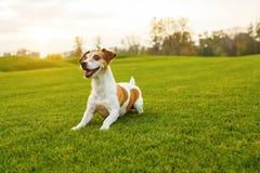 Μικρό σκυλί Playfull στην πράσινη φυσική χλόη Στοκ εικόνα με δικαίωμα ελεύθερης χρήσης