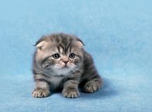 Μικρό σκωτσέζικο γατάκι πτυχών στοκ εικόνες