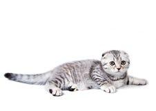 Μικρό σκωτσέζικο γατάκι πτυχών στοκ εικόνες με δικαίωμα ελεύθερης χρήσης