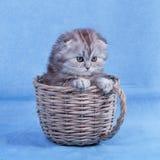 Μικρό σκωτσέζικο γατάκι πτυχών στοκ φωτογραφία