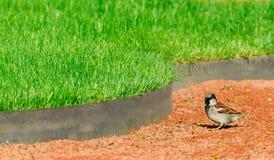 Μικρό σπουργίτι πουλιών στο πάρκο στο μονοπάτι στον πράσινο χορτοτάπητα χλόης Στοκ φωτογραφία με δικαίωμα ελεύθερης χρήσης