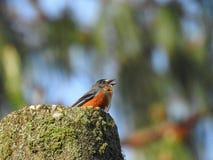 Μικρό τραγούδι πουλιών σε έναν mossy κορμό δέντρων στοκ εικόνες με δικαίωμα ελεύθερης χρήσης