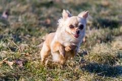 Μικρό υγιές σκυλί chihuahua στο τρέξιμο Στοκ Εικόνες