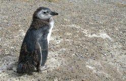 Μικρό υγρό penguin Στοκ φωτογραφία με δικαίωμα ελεύθερης χρήσης