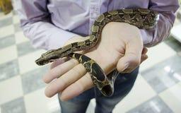 Μικρό φίδι στα χέρια man's Στοκ Φωτογραφίες