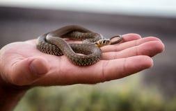 Μικρό φίδι χλόης Στοκ εικόνα με δικαίωμα ελεύθερης χρήσης