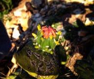 Μικρό φυτό κάκτων Στοκ Φωτογραφία