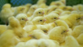 Μικρό χαριτωμένο, καλό κοτόπουλο μωρών στα πουλερικά 4K απόθεμα βίντεο