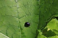 Μικρό χαριτωμένο μαύρο ζωύφιο στο πράσινο φύλλο Στοκ Εικόνες