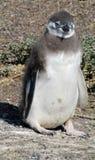 Μικρό χαριτωμένο penguin Στοκ Εικόνες